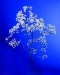 gypsophila-new-love