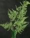 asparagus-plumosus
