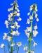delphinium-belladonna