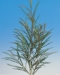 grevillea-ivanhoe