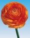 ranunculus-orange