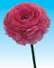 ranunculus-pink