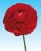 ranunculus-red